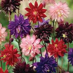 Aquilegia Vulgaris Barlow Double Mixed