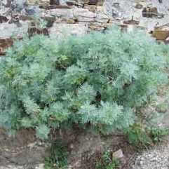 Artemesia Powis Castle - Wormwood