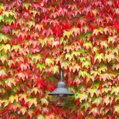 Boston Ivy  Pathenocissus tricuspidata