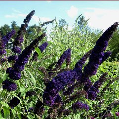 Buddleia daviddii 'Black knight'