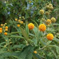Buddleia glodosa - Orange Ball Buddleia
