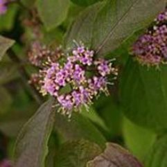 Callicarpa giraldiana - Purple Beautybush