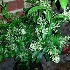 Cestrum nocturnum - Queen of The Night