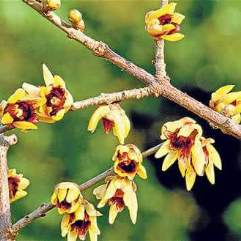 Chimonanthus praecox - 'Winter Sweet'