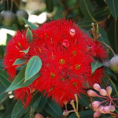 Corymbia ficifolia – Red Flowering Gum