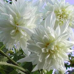 Dahlia imperialis - Double White Tree Dahlia
