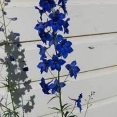 Delphinium Pacific Giant - Black Knight
