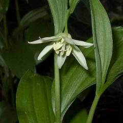 Disporum Sessile Variegated