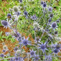 Eryngium alpinum - Blue Glow Sea Holly