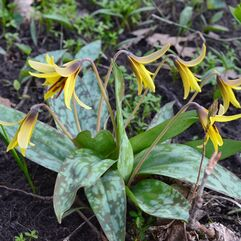 Erythronium americanum - Yellow Trout Lily (BULBS)