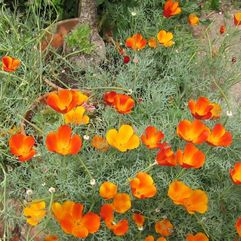 Escolcia - Californian Poppy- Orange