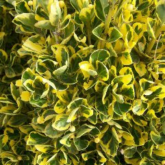 Euonymus japonicus aureo-marginatus - Golden Variegated Japanese Laurel