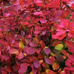Cotinus coggygria - Flame Smoke Bush