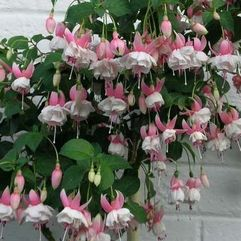 Garden or Pot Fuchsia - Nancy Lou