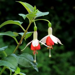 Garden or Pot Fuchsia - Anita