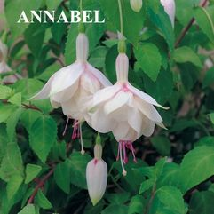 Garden or pot Fuchsia - Annabel
