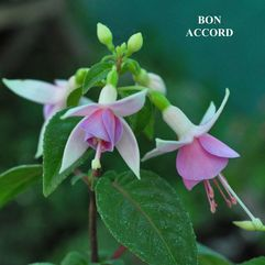 Hanging Basket Fuchsia - Bon Accord