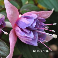 Hanging Basket Fuchsia - Drama Girl