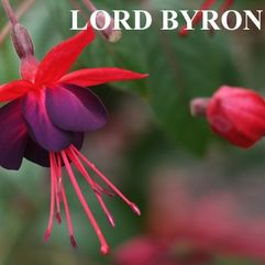 Garden or Pot Fuchsia - Lord Byron