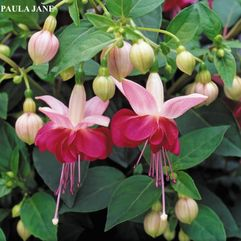 Garden or Pot Fuchsia - Paula Jane