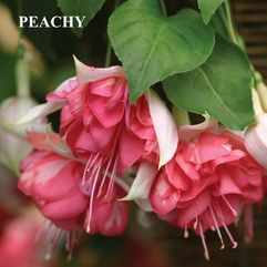 Hanging Basket Fuchsia - Peachy