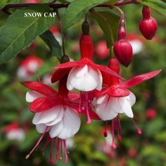Garden or Pot Fuchsia - Snow Cap