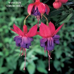 Garden or Pot Fuchsia - Winston Churchill