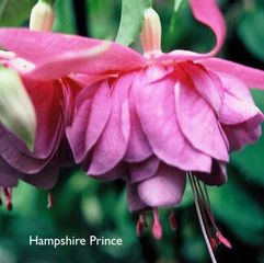 Garden, Pot or Hanging Basket Fuchsia -  Hampshire Prince