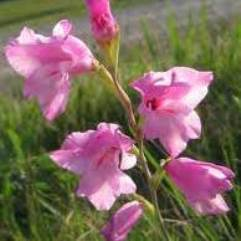 Gladiolus Nana Thumbergia - Charming Beauty