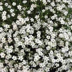 Gypsophila paniculata Single White - Single Baby's Breath