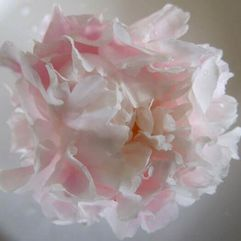 Herbaceous Peony - Popular Pink