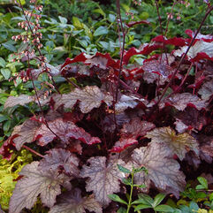 Heuchera micrantha – Palace Purple