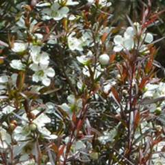 Leptospermum morrisonii - Copper Glow
