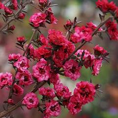 Leptospermum scoparium nanum - Dwarf Red Tea Tree