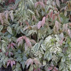 Leucothoe fontanesiana rainbow - Dog hobble rainbow