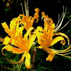 Lycoris aurea - Golden - Yellow Spider Lily