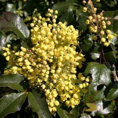 Mahonia Aquafolium - Oregon Grape