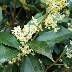 Osmanthus fragrans - Tea Olive Tree