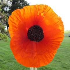 Papaver Orientale - Brilliant
