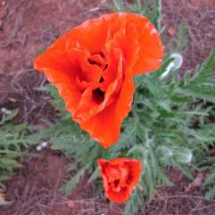 Papaver Orientale - Dubloon (Double)