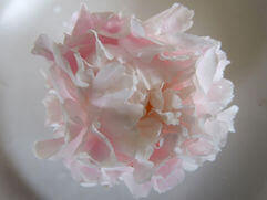 Peony Herbaceous Roses   Popular Pink