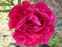 Peony Herbaceous Roses   The Big Gown