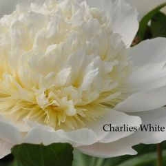 Herbaceous Peony - Charlies White