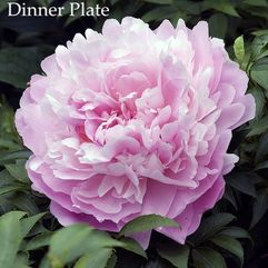 Herbaceous Peony - Dinner Plate