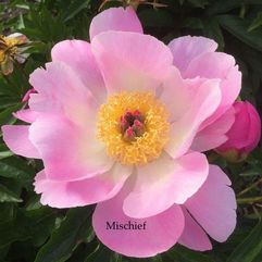 Herbaceous Peony - Mertle Gentry