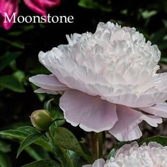 Herbaceous Peony - Moonstone