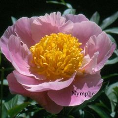Herbaceous Peony - Nymphe