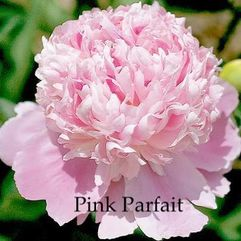 Herbaceous Peony - Pink Parfait