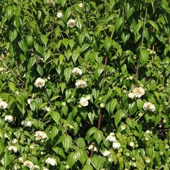 Philadelphus mexicanus - Double flowering mock orange