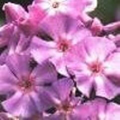 Phlox paniculata Nancy Logan